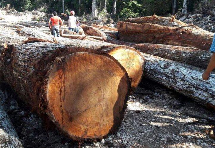 Silvicultores de Quintana Roo piden que se revisen los árboles de navidad que ingresan al Estado para prevenir plagas. (Carlos Castillo/SIPSE)