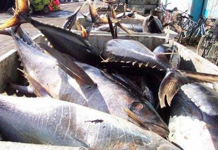 La OMC favoreció a México en el pleito que tiene con EU sobre el etiquetado del atún, ya que asegura que el país estadounidense no cumple con el régimen de etiquetado 'dolphin safe'. Foto de contexto. (Archivo/SIPSE)