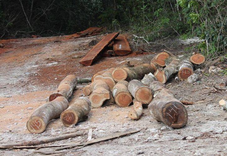 Un metro cúbico de madera de ciricote está cotizado en 13 mil pesos. (Juan Rodríguez/SIPSE)