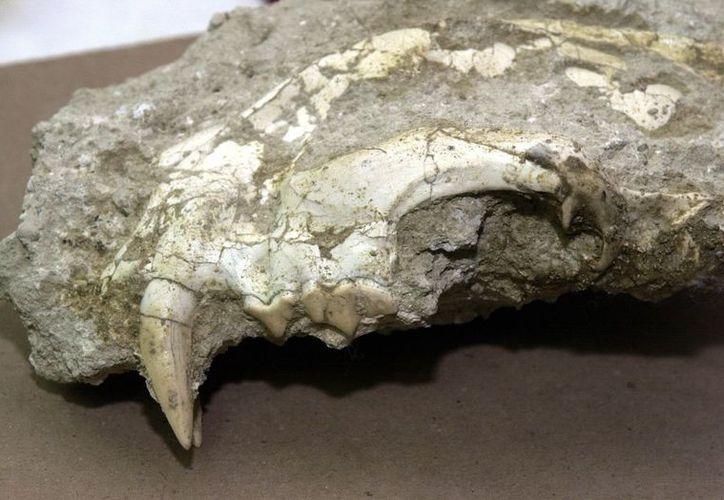 """Restos fosilizados y conservados de un cráneo del tigre """"Paramachairodus ogygia"""", conocido como """"diente de sable"""". (Archivo/EFE)"""