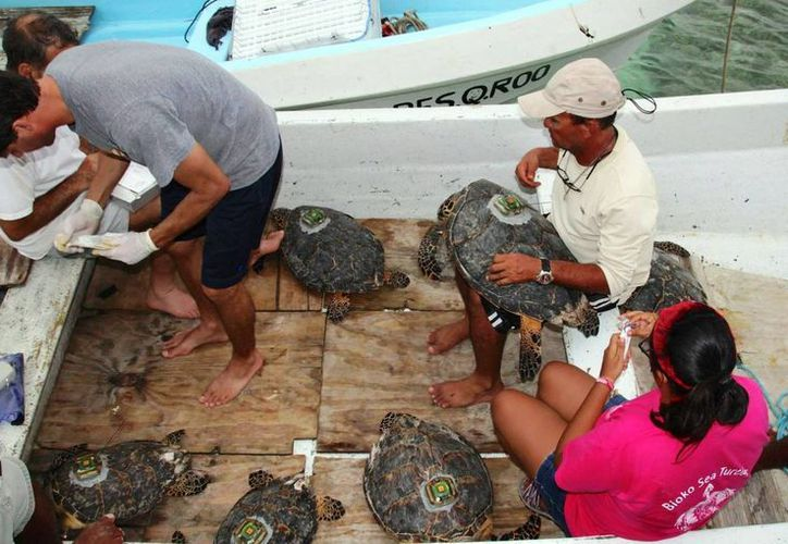 El Ecosur trabaja en la localización y monitoreo de las tortugas que arriban a anidar al estado.  (Claudia Martín/SIPSE)