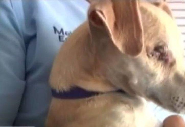La golpiza contra la perrita le ocasionó una conmoción cerebral, por lo que le tuvieron que extirpar los ojos para salvar su vida. (excelsior.com)
