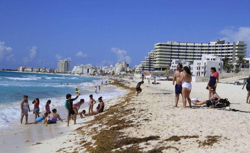 El recale de algas marinas es atípico atribuible al fenómeno de 'El Niño'. (Tomás Álvarez/SIPSE)