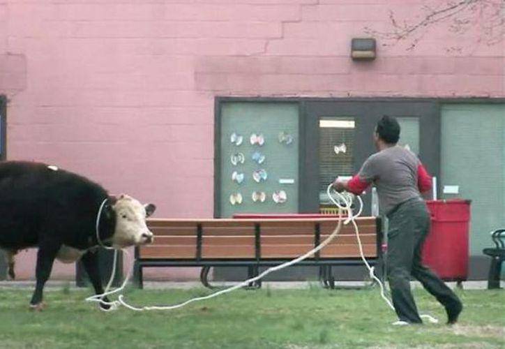 La policía acudió a la zona y después de varios intentos lograron capturar al animal. (twitter.com/nynewsn)