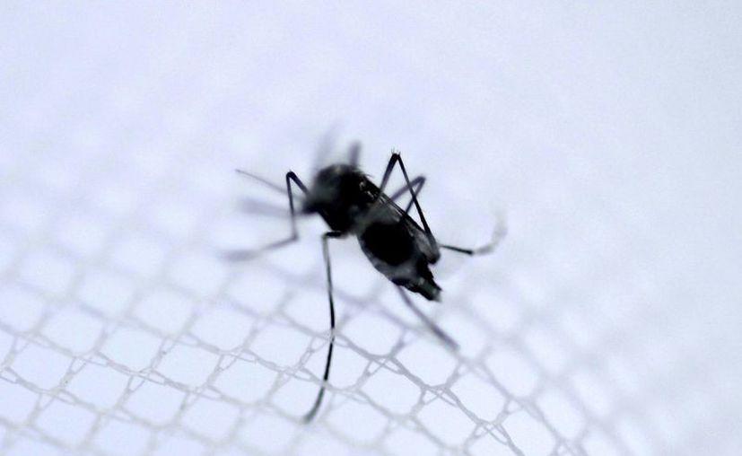 """Fotografía del """"Aedes aegypti"""", el mosquito transmisor de los virus del dengue, el zika y el chikunguña. Por ahora no existe ni vacuna ni tratamiento contra un virus que fue descubierto en los años cincuenta en el bosque Zika de Uganda. (EFE/Archivo)"""