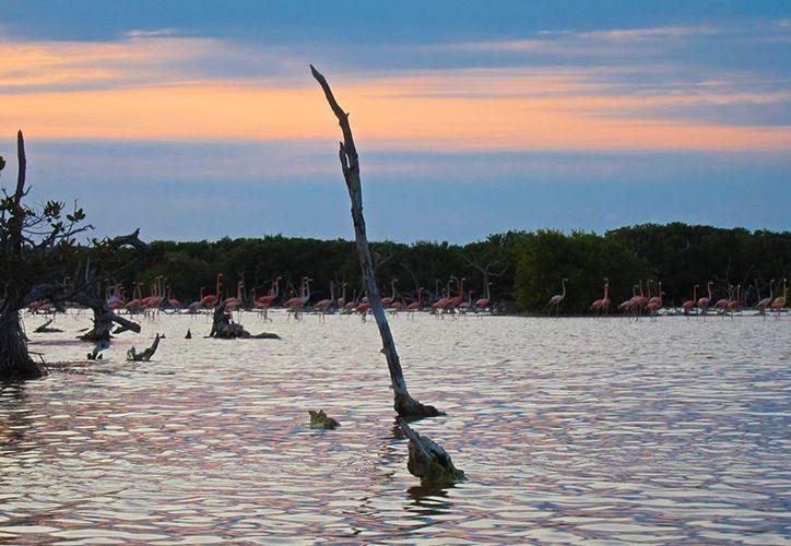 De acuerdo con  datos de la Seduma, en Yucatán hay unas 453 especies de aves,  de las cuales 14 son endémicas. En la imagen, flamencos en el puerto de Sisal. (Archivo/SIPSE)