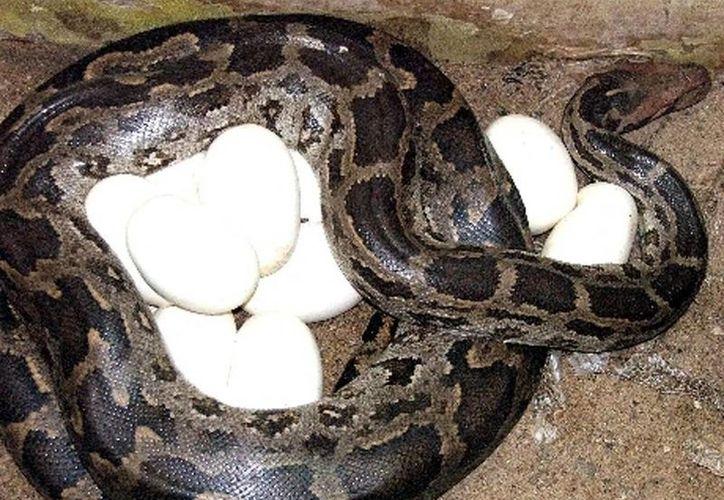 En esta entidad se registran 36 especies de reptiles bajo alguna categoría de riesgo. (Archivo/SIPSE)
