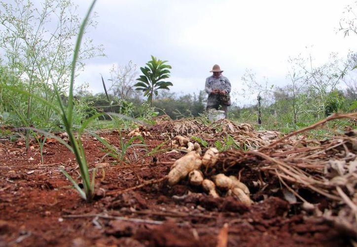 Se van a regularizar tierras de Maxcanú, Homún, Tixméhuac y Kinchil. (Archivo/ Milenio Novedades)