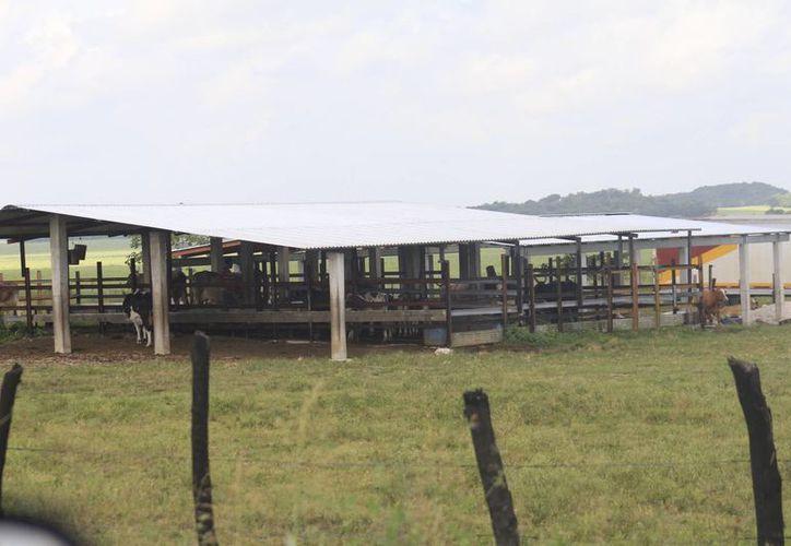 Los productores comercializan el ganado a intermediarios que  lo utilizan para exportación. (Harold Alcocer/SIPSE)