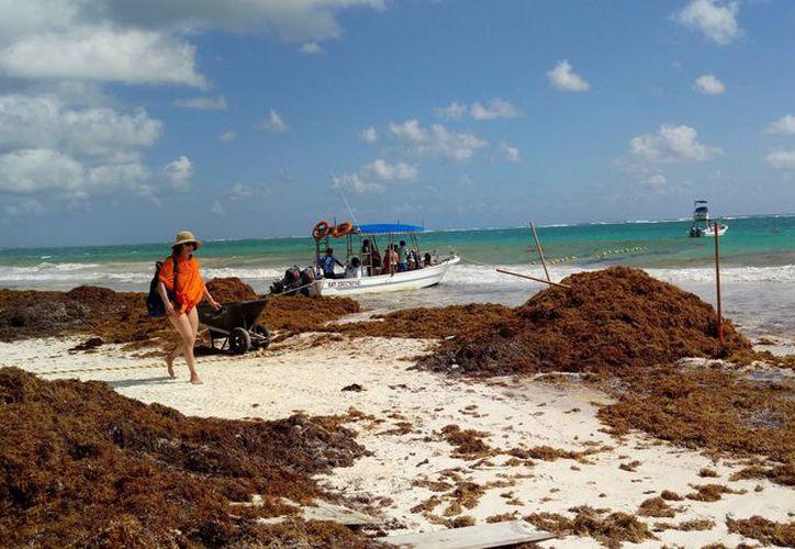 """Nuevamente las playas del municipio están """"tapizadas"""" de sargazo. (Sara Cauich/SIPSE)"""