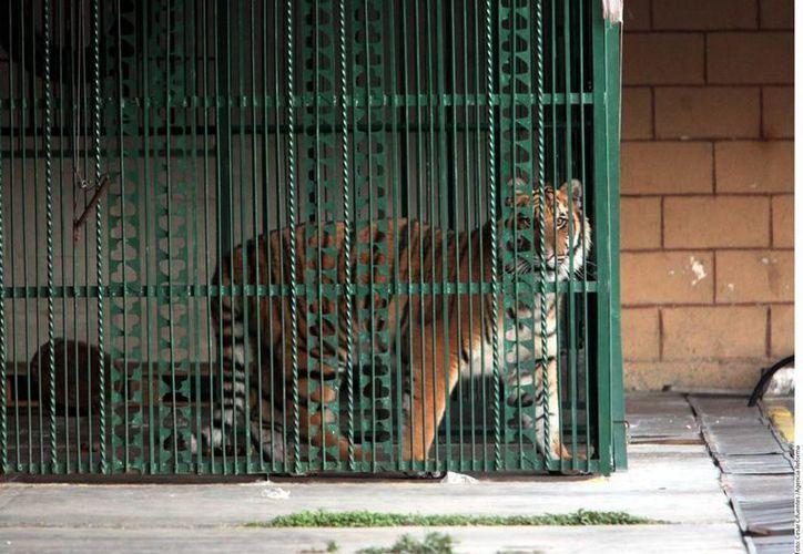 El tigre se encuentra en jaula bajo resguardo del circo y a disposición del Ministerio Público. (SIPSE)