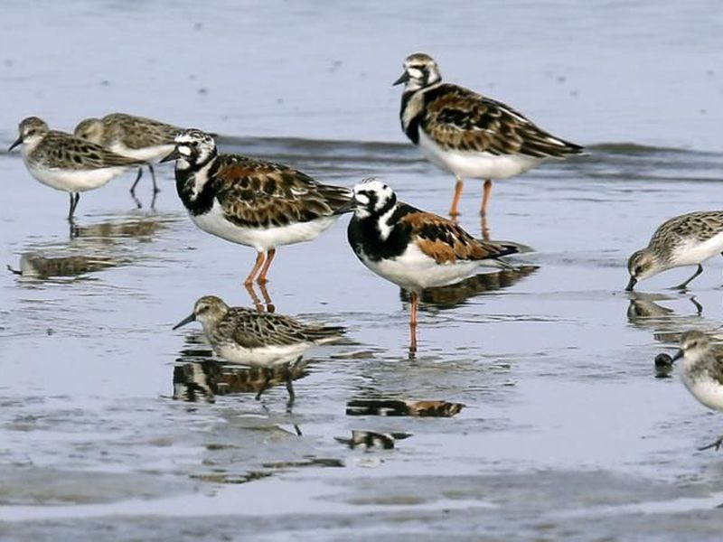 Ruddy turnstones, larger birds, and semipalmated sandpipers walk near the shoreline at Kimbles Beach, Middle township NJ. (AP)
