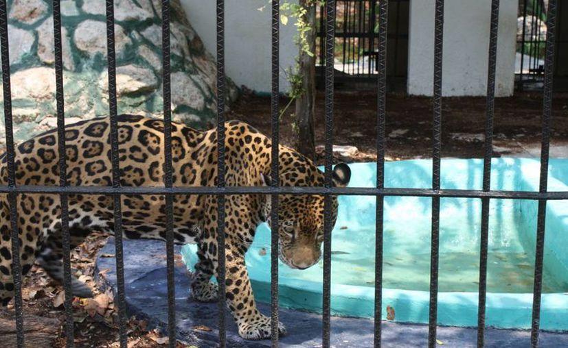 Los animales han sido resguardados en lugares propicios. (Harold Alcocer/SIPSE)
