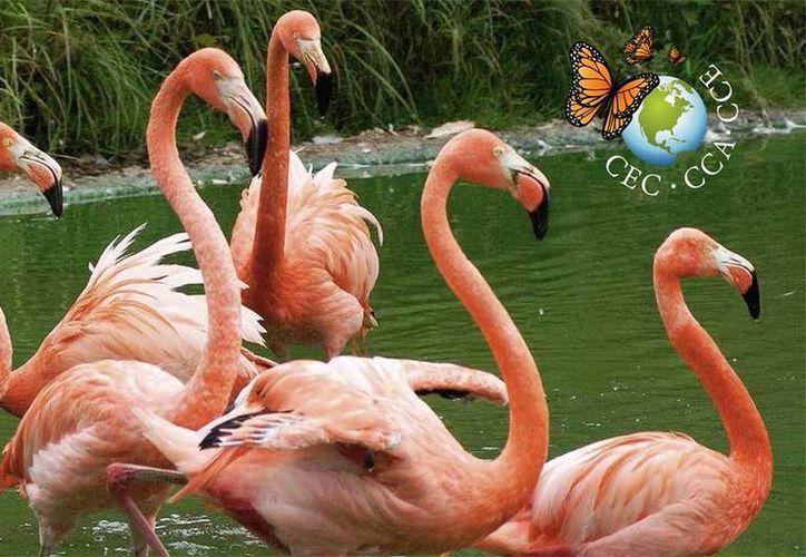 Aseguran que en Yucatán existe más de 70 especies endémicas de la región y hay unas 80 consideradas en riesgo. Imagen de unos flamingos en la costa yucateca. (cec.org)