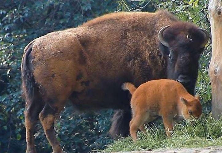 La hembra de bisonte americano que falleció en el Zoológico de Chapultepec tenía 4 años y 6 meses. (Seduma)