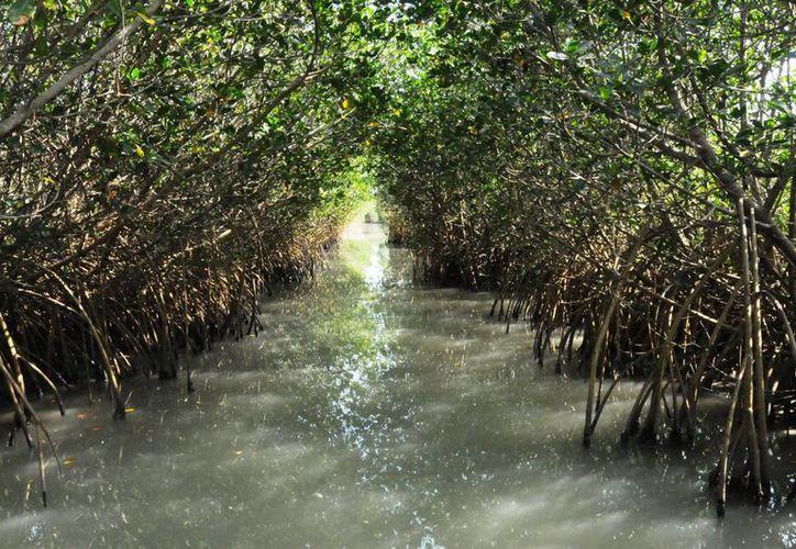 Ante la presencia del cambio climático, los manglares son una defensa contra las tormentas pues reducen la acción del viento en la erosión del suelo. (Notimex)