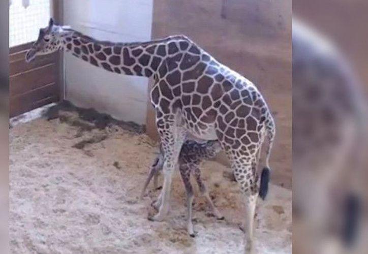 El nombre de la cría de la jirafa April, de 15 años, y de Oliver, de 5 años, será anunciado tras una competición que será llevada a cabo por el zoológico. (Captura Youtube).