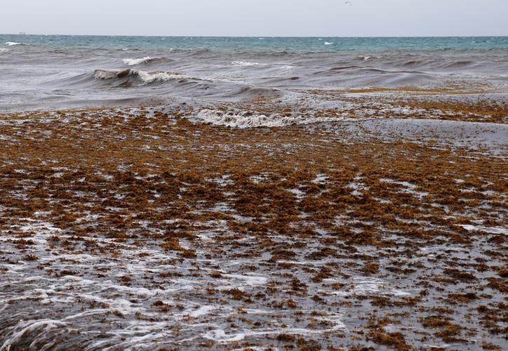 El problema del arribo masivo del sargazo inició en 2015; actualmente, se ha superado el récord de ese año en el recale del alga. (Paola Chiomante/SIPSE)