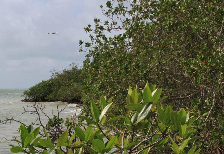 El manglar ayuda a detener entre el 60% y 70% de la intensidad del viento de un fenómeno tropical. (Ángel Castilla/SIPSE)