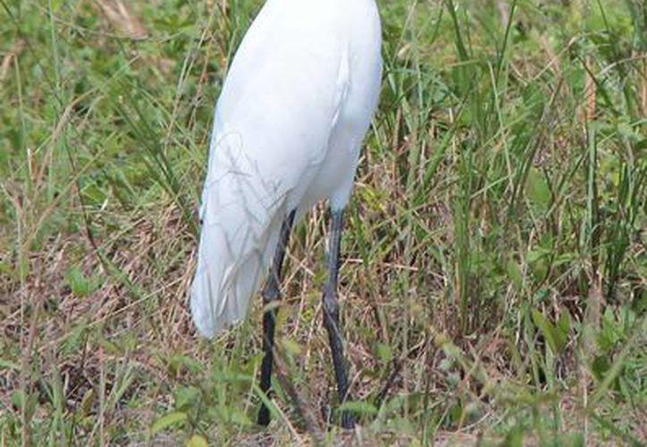En Cozumel existen 286 especies de aves, lo que representa el 51 por ciento de las existentes en la Península de Yucatán. (Gustavo Villegas/SIPSE)
