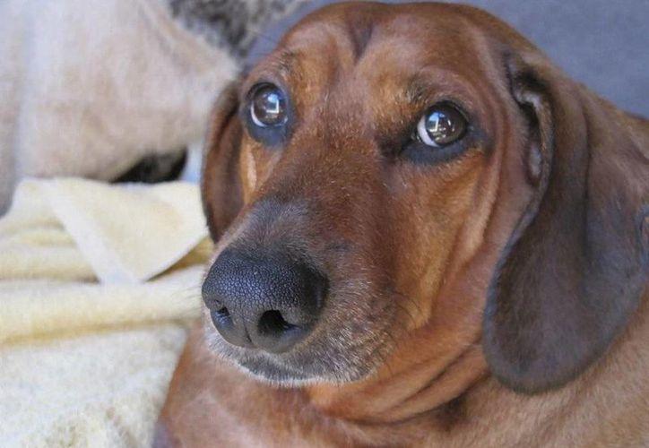 El 25 por ciento de los perros en México tiene obesidad. (Imagen tomada de spotmagazine.net)