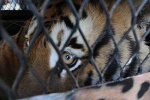 Trasladan a Denver a felinos rescatados en México