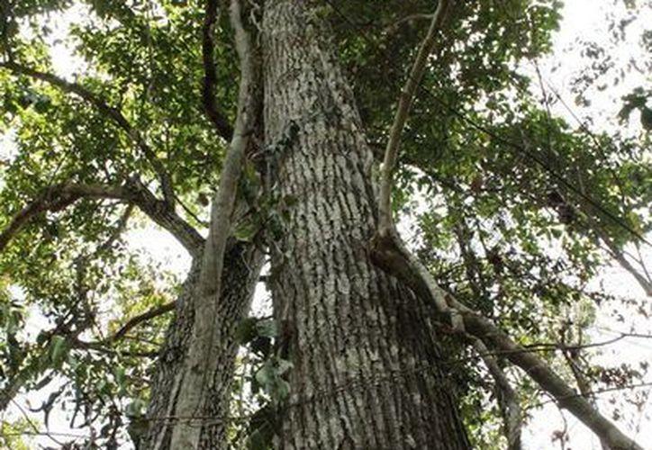 La inclusión del cedro rojo en la lista especies protegidas genera que disminuya en niveles de cultivo y aprovechamiento. (Edgardo Rodríguez/SIPSE)