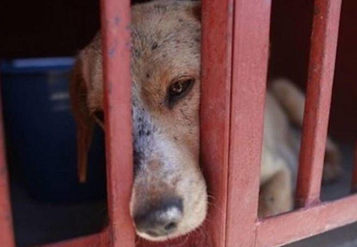 La Federación Canófila Mexicana, el Centro de Estudios Universitarios y la Agrupación de Galleros Unidos de Nuevo León pretenden que los perros ya no ladren. (excelsior.com.mx/foto de contexto)