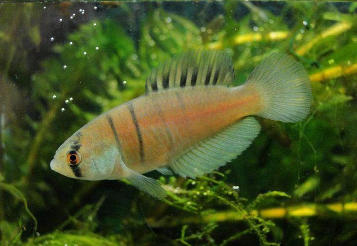 La nueva especie mide hasta cinco centímetros y los machos se caracterizan por una coloración única, con el cuerpo marrón claro y algunas rayas negras verticales. (EFE)