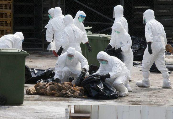 Trabajadores de Salud de Hong Kong guardan algunos de los 20,000 pollos sacrificados en una granja tras descubrirse un caso de contagio de gripe aviar en un lote de aves importadas desde la provincia de Guangdong, en Hong Kong. (EFE)