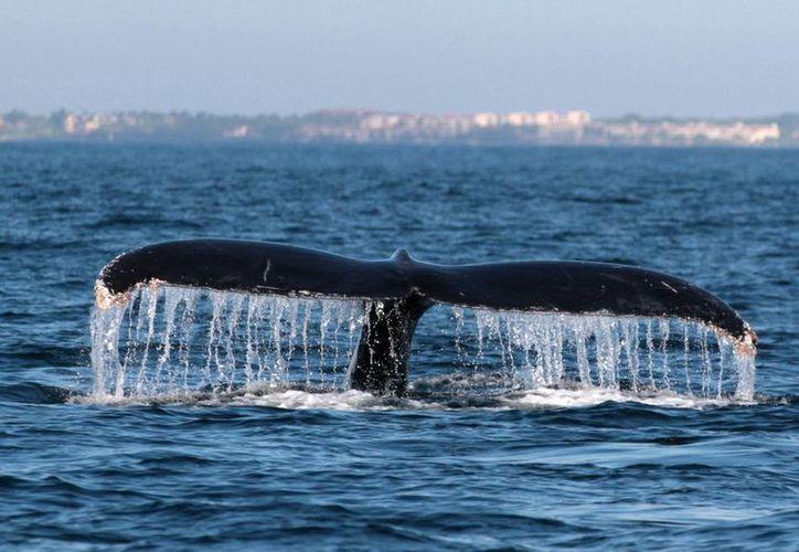 Las ballenas grises en edad adulta llegan a medir hasta 15 metros. (Archivo/Notimex)