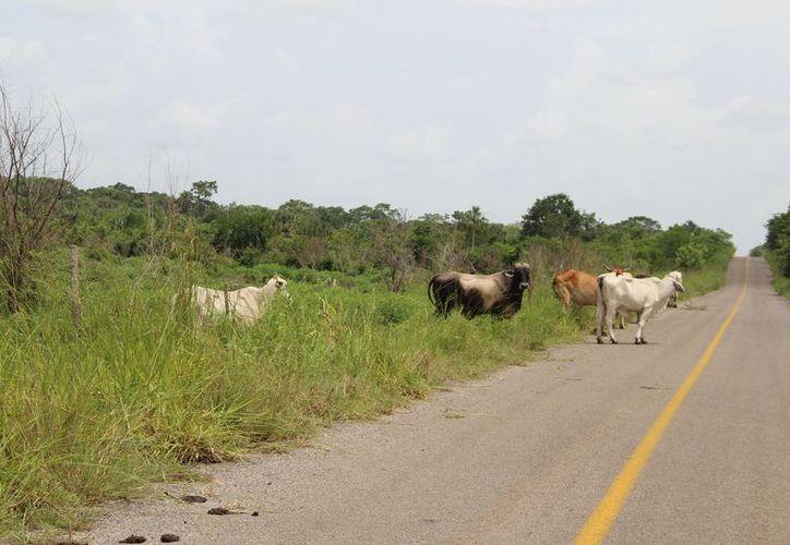 Los ganaderos indican que los diversos caminos que conectan a la península son utilizados para transportar las reses robadas. (Carlos Castillo/SIPSE)