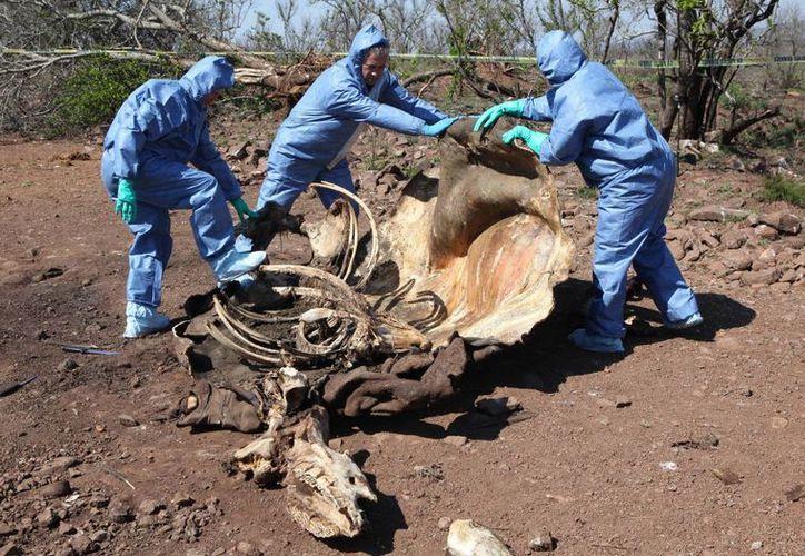 Investigadores examinan los restos de un rinoceronte en busca de evidencia forense, el 20 de noviembre de 2014 en Sudáfrica. Imagen de contexto. (Foto: Archivo AP/Denis Farrell)