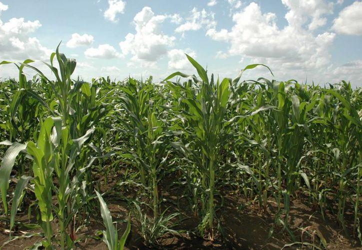 No han podido comercializar la producción de maíz que cosecharon a finales de octubre pasado. (Edgardo Rodríguez/SIPSE)