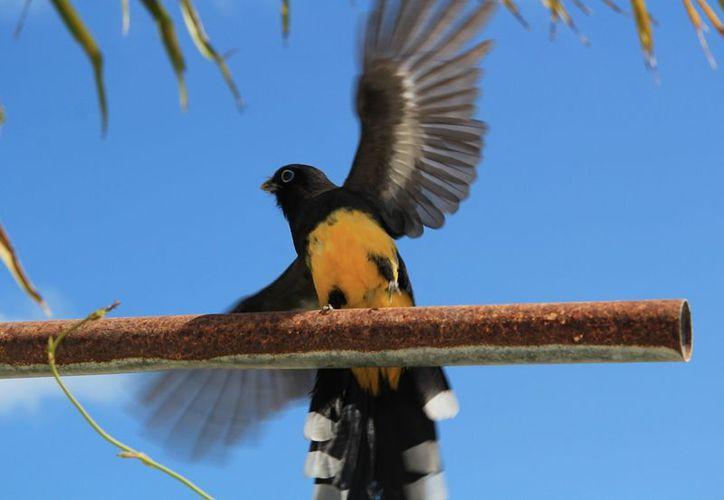 Las 'coas de cabeza negra', son comunes en las selvas y suelen ser solitarias. (Foto: Luis Soto)