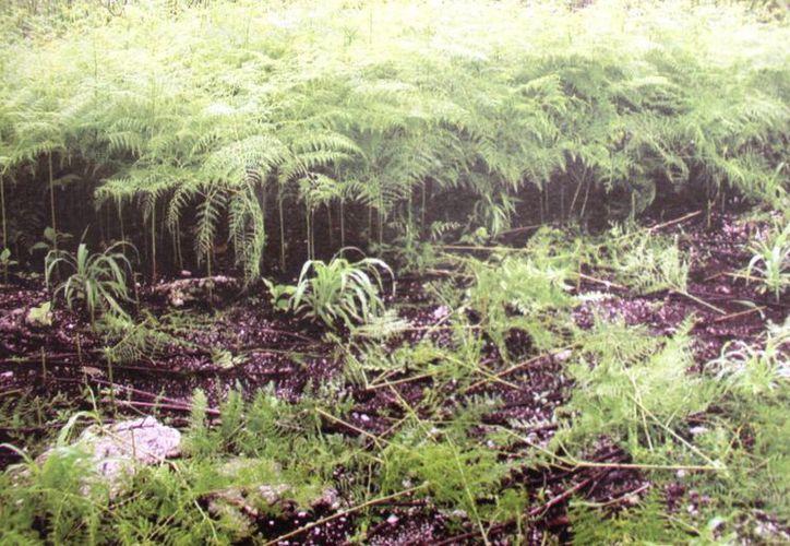 La planta ha invadido alrededor de cinco mil hectáreas de cultivo en el estado. (Edgardo Rodríguez/SIPSE)