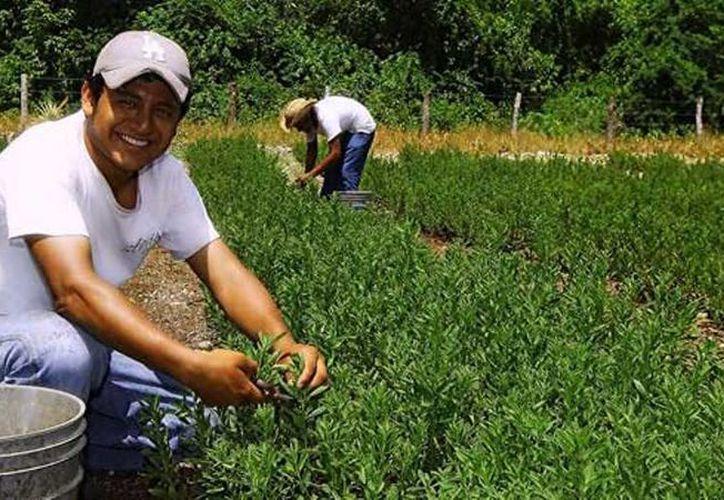 Los agricultores locales se han mostrado desanimados respecto al cultivo de la stevia. (Carlos Yabur/SIPSE)