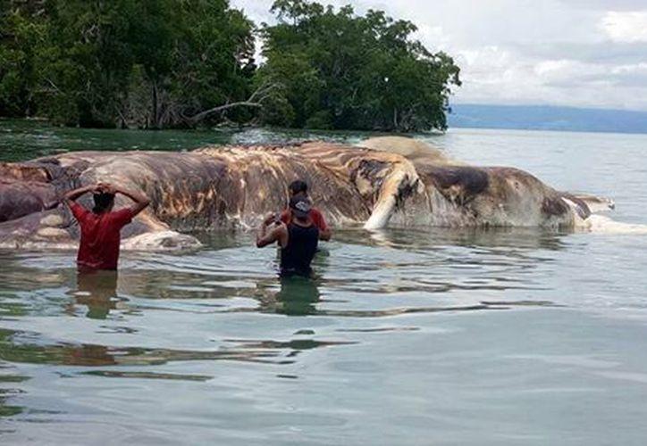 Actualmente los investigadores están analizando los restos del animal, de 22 metros. (Facebook)