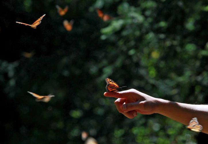 Los esfuerzos de México, Estados Unidos y Canadá para proteger a la mariposa Monarca han permitido una importante recuperación de su población. (Archivo/Notimex)