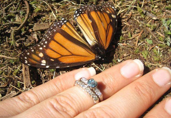 Samantha Goldberger muestra su anillo de compromiso al lado de una mariposa monarca poco después de que Skipton Jason le propusiera matrimonio. (Agencias)