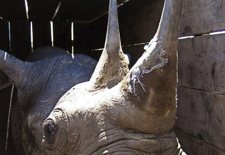 Encuentran evidente negligencia en el traslado del rinoceronte. (apnews.com)