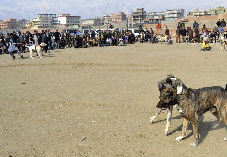 En Afganistán, las peleas de perros se han vuelto más peligrosas, pero el Gobierno no las ha prohibido oficialmente. (EFE)