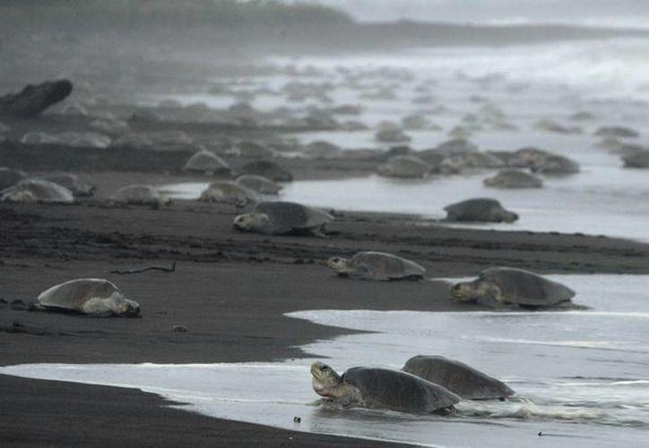 Se calcula que entre 10 mil y 30 mil quelonios son víctimas de pesca ilegal anualmente en Costa Rica. (Archivo/EFE)