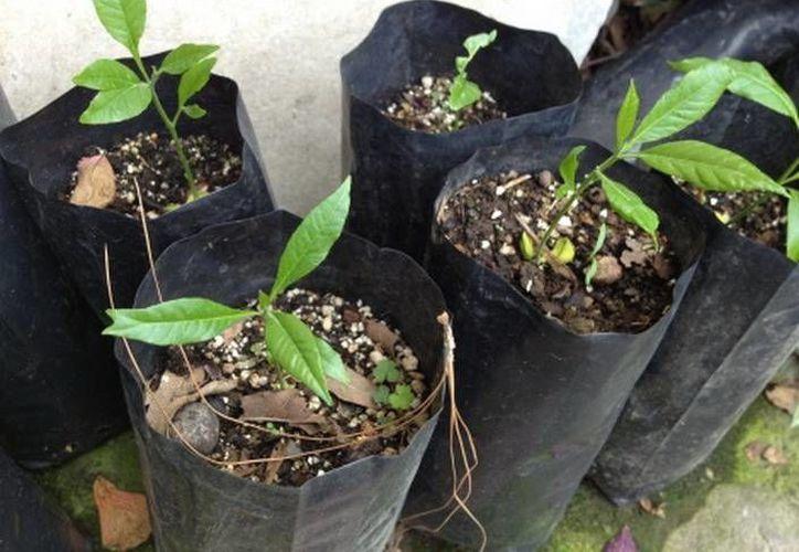 Sólo se han localizado ocho ejemplares del Esenbeckia Vazquez en los montes morelenses. (David Monroy/MILENIO)