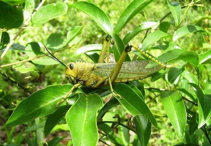 La langosta agrícola llega a alimentarse de hasta 400 especies de vegetales. (Edgardo Rodríguez/SIPSE)