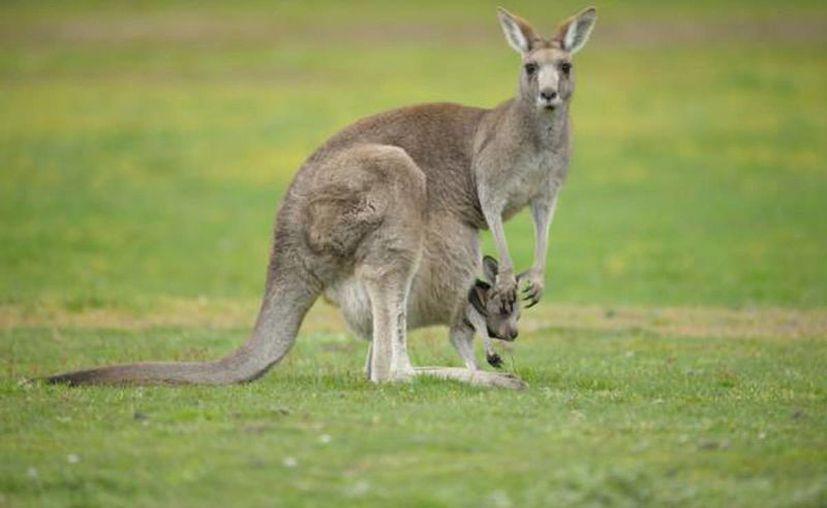 Una joven madre peleó con un canguro para salvar a su hija en el jardín de su casa en Harvey Bay, Australia. (Imagen de contexto/expertoanimal.com)