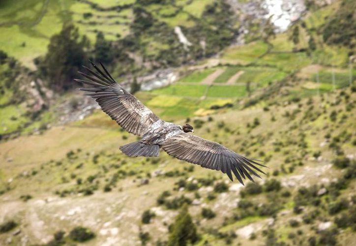 Imagen de abril de 2015 del gigantesco cóndor andino <i>(vultur gryphus)</i> en el cañon de Mayobamba, en el valle del Sondondo, al sur del departamento andino de Ayacucho en las alturas andinas de Perú. (EFE)