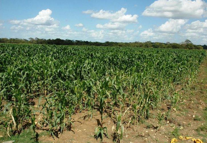Los productores de caña optarán por plantar semillas de maíz como otra opción para incrementar sus ingresos. (Archivo/SIPSE)