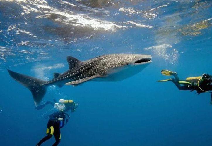 En 2016, el tiburón ballena fue incluido en la lista roja de especies en peligro de extinción. (Internet/Contexto)
