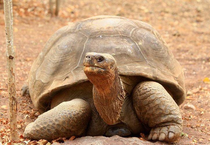 Arturo Izurieta, director del Parque Nacional Galápagos (PNG), confía en que la ciencia pueda darle a Jorge una posibilidad para revertir la extinción de su especie: la chelonoidis abingdoni, que habitó en la isla Pinta. (EFE/Archivo)